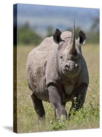 An Alert Black Rhino; Mweiga, Solio, Kenya-Nigel Pavitt-Stretched Canvas Print