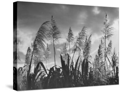 Sugar Cane Showing Tassels on the Canlubang Sugar Plantation--Stretched Canvas Print
