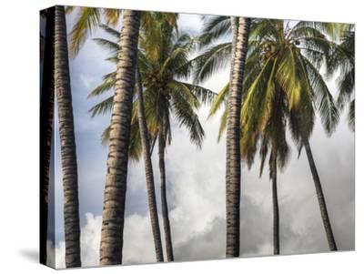 The Midsection of a Group of Palm Trees on the Island of Molokai-Pete Ryan-Stretched Canvas Print