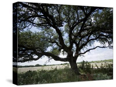 A Ranch Landscape with a Large Tree-Joel Sartore-Stretched Canvas Print