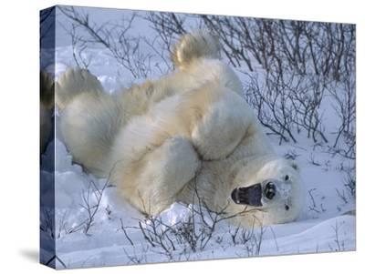 Polar Bear (Ursus Maritimus) Large Male Stretching and Yawning, Manitoba, Canada-Suzi Eszterhas/Minden Pictures-Stretched Canvas Print
