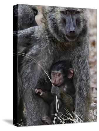 Olive Baboon (PapioAnubis) Female Grooming Mother with Infant, Gombe Stream Chimp Reserve, Tanzania-Suzi Eszterhas/Minden Pictures-Stretched Canvas Print