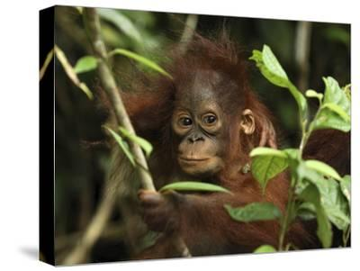 Orangutan (Pongo Pygmaeus) Baby, Camp Leaky, Tanjung Puting Nat'l Park, Indonesia-Thomas Marent/Minden Pictures-Stretched Canvas Print