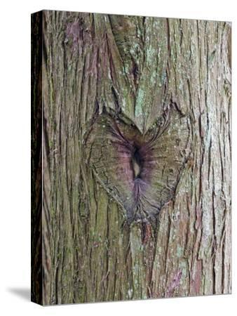 A Heart Carving in a Tree at Englishman River Falls Provincial Park-Rich Reid-Stretched Canvas Print