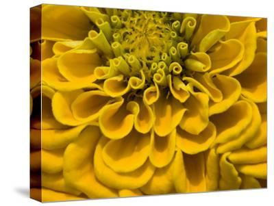 An Extreme Close Up of a Yellow Zinnia Flower-Brian Gordon Green-Stretched Canvas Print