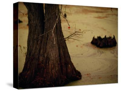 A Fishing Bobber Caught in the Branches of a Cypress Tree-Raymond Gehman-Stretched Canvas Print