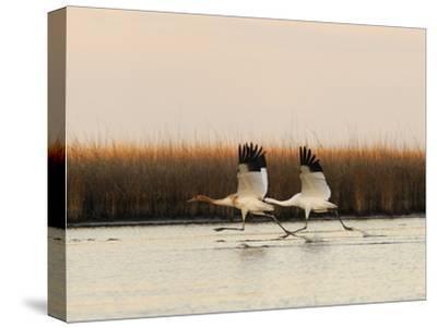 Whooping Crane Adult and Juvenile Taking Off from Wintering Grounds-Klaus Nigge-Stretched Canvas Print