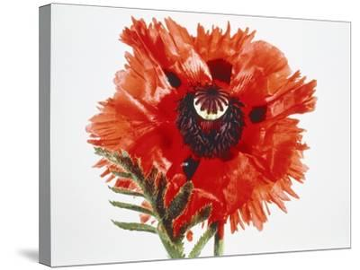 Red poppy blossom-Josh Westrich-Stretched Canvas Print