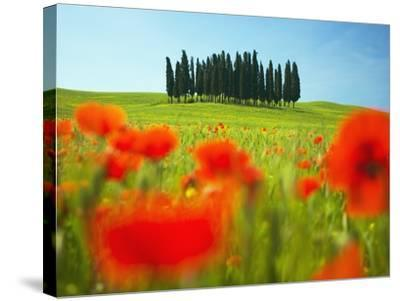 Italian Cypress Trees in Cornfield-Frank Krahmer-Stretched Canvas Print