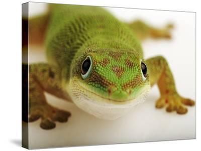 Day Gecko-Martin Harvey-Stretched Canvas Print