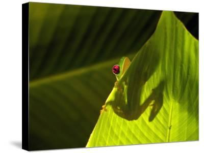 Red-eyed Tree Frog on Leaf-Keren Su-Stretched Canvas Print