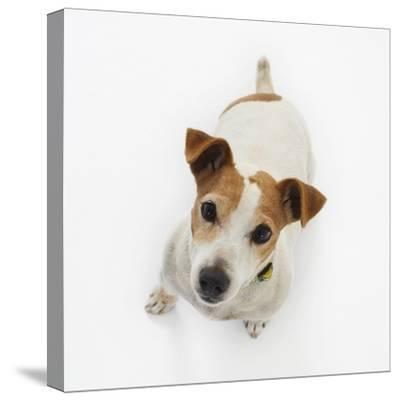 Jack Russell Terrier Looking up-Russell Glenister-Stretched Canvas Print