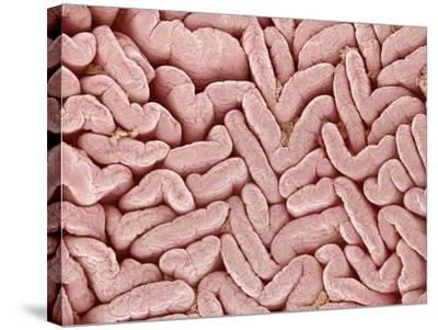 Duodenum Villi from a Rat-Micro Discovery-Stretched Canvas Print