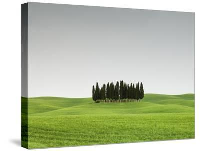 Cypress Grove in Field-Sergio Pitamitz-Stretched Canvas Print