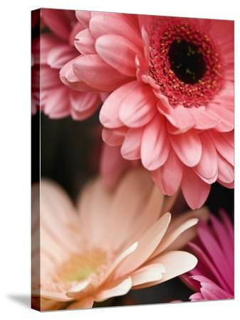 Gerber daisies-Angela Drury-Stretched Canvas Print