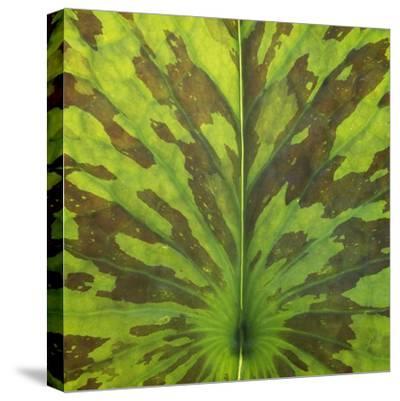 Closeup of Leaf-Micha Pawlitzki-Stretched Canvas Print