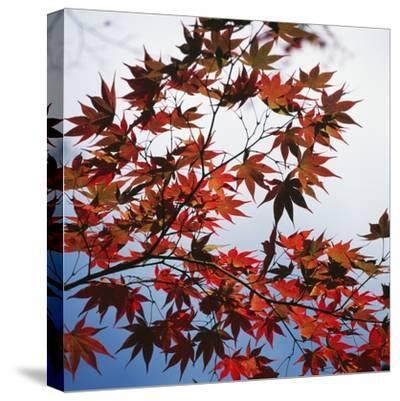 Colorful leaves-Micha Pawlitzki-Stretched Canvas Print