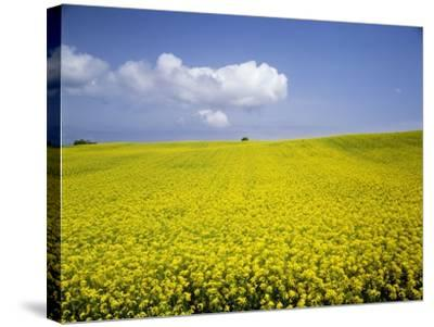 Field of oilseed rape, Yokohama, Aomori Prefecture, Japan-Aso Fujita-Stretched Canvas Print