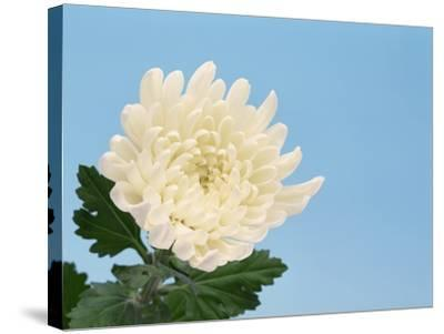 Close-up of White Chrysanthemum--Stretched Canvas Print