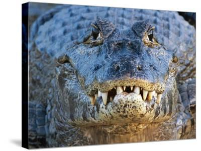 Adult Spectacled Caiman in Brazil-Theo Allofs-Stretched Canvas Print