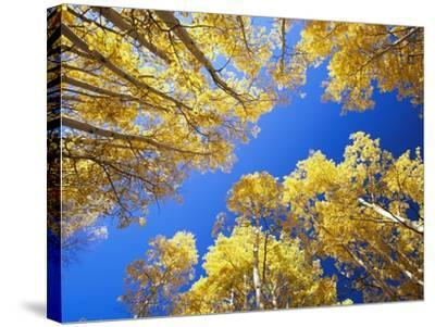Aspen Trees Against Blue Sky-William Manning-Stretched Canvas Print