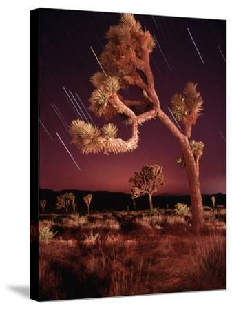 Meteor Trails and Joshua Trees-Richard Cummins-Stretched Canvas Print