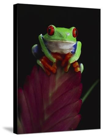 Red-Eyed Tree Frog Perched on Plant-David Northcott-Stretched Canvas Print