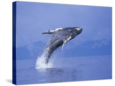 Young Humpback Whale Breaching in Frederick Sound-Paul Souders-Stretched Canvas Print