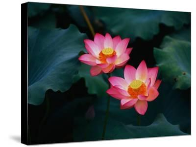 Lotus Flowers-Keren Su-Stretched Canvas Print