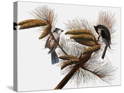 Audubon: Titmouse-John James Audubon-Stretched Canvas Print