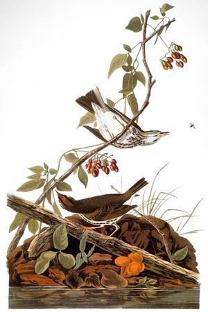 Audubon: Ovenbird-John James Audubon-Stretched Canvas Print
