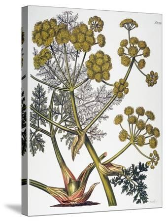 Herbal: Fennel, 1819--Stretched Canvas Print