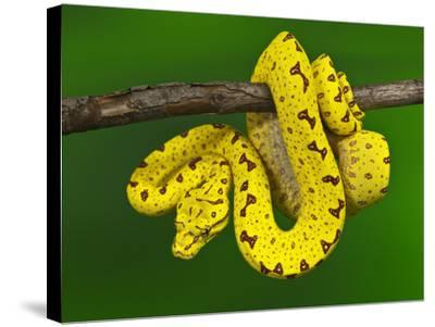 Immature Green Tree Python-Adam Jones-Stretched Canvas Print
