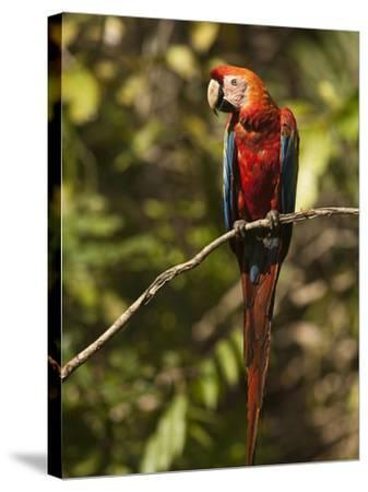 Scarlet Macaw, Cocaya River, Eastern Amazon Rain Forest, Peru-Pete Oxford-Stretched Canvas Print