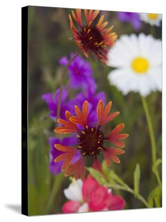 Prairie Gaillardia and Various Wildflowers, Texas, Usa-Julie Eggers-Stretched Canvas Print