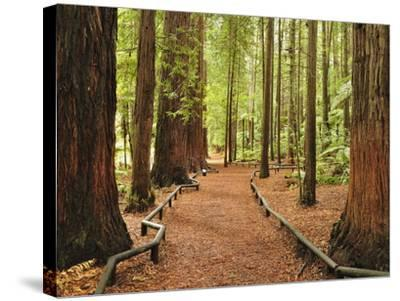 Walkway, the Redwoods, Rotorua, Bay of Plenty, North Island, New Zealand, Pacific-Jochen Schlenker-Stretched Canvas Print
