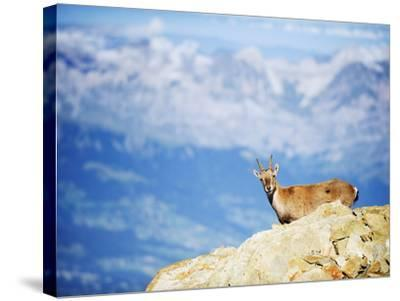 Ibex (Capra Ibex), on Lower Slopes of Mont Blanc, Chamonix, French Alps, France, Europe-Christian Kober-Stretched Canvas Print