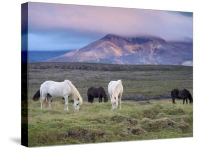 Icelandic Horses, Near Stykkisholmur, Snaefellsness Peninsula, West Iceland, Iceland, Polar Regions-Patrick Dieudonne-Stretched Canvas Print