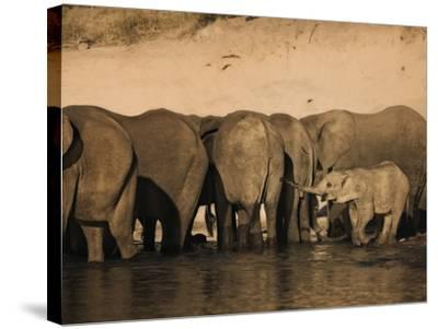 Elephants (Loxodonta Africana) in Chobe River, Botswana, Africa-Kim Walker-Stretched Canvas Print