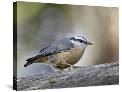 Female Red-Breasted Nuthatch (Sitta Canadensis), Wasilla, Alaska, USA--Stretched Canvas Print