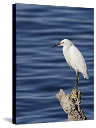 Snowy Egret (Egretta Thula), Sonny Bono Salton Sea National Wildlife Refuge, California, USA--Stretched Canvas Print