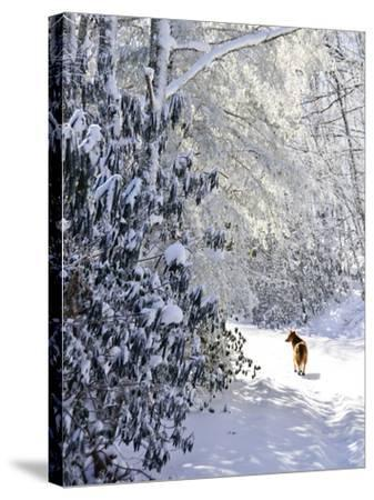 A Pet Dog Walking Up a Snow-Covered Road-Amy & Al White & Petteway-Stretched Canvas Print
