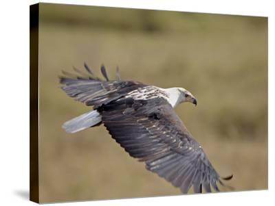 African Fish Eagle (Haliaeetus Vocifer) in Flight, Serengeti National Park, Tanzania, East Africa, -James Hager-Stretched Canvas Print