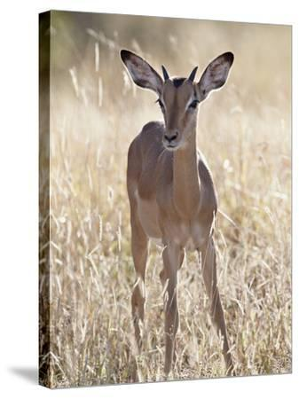 Young Impala (Aepyceros Melampus) Buck, Kruger National Park, South Africa, Africa-James Hager-Stretched Canvas Print
