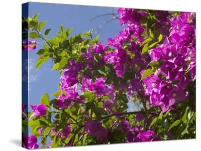 Morning Sun Lights Bougainvillea Flowers Inside Fort Jesus, Mombasa, Kenya-Paul Souders-Stretched Canvas Print