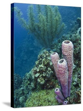 Stove-Pipe Sponge (Aplysina Archeri), Bonaire, Netherlands Antilles, Caribbean-Pete Oxford-Stretched Canvas Print