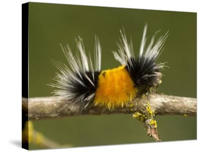 Spotted Tussock Moth Caterpillar, Lophocampa Maculata, British Columbia, Canada-Paul Colangelo-Stretched Canvas Print