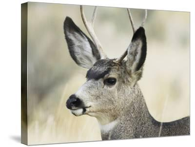 Mule Deer, Buck, Idaho, Usa-Gerry Reynolds-Stretched Canvas Print
