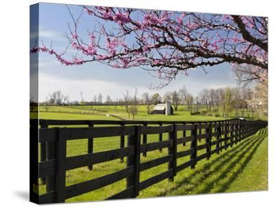 Redbud Trees in Full Bloom, Lexington, Kentucky, Usa-Adam Jones-Stretched Canvas Print
