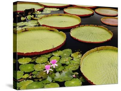 Water Lily and Lily Pad Pond, Longwood Gardens, Pennsylvania, Usa-Adam Jones-Stretched Canvas Print